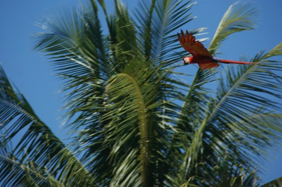 Playa Tortuga, Kosta Rika: The red macaws are everywhere