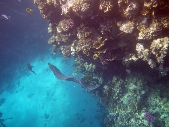 Reef Oasis Blue Bay Resort: moray eel