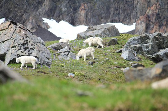 Parc national de Kenai Fjords, AK : Dall Sheep country