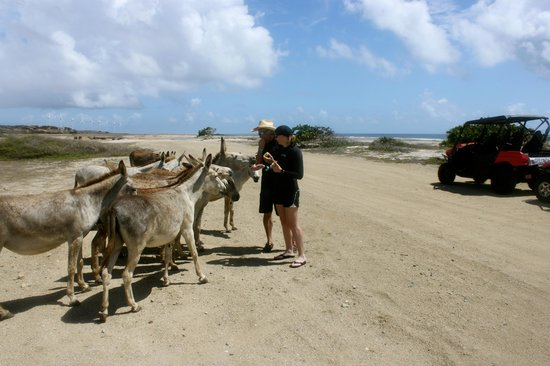 Savaneta, Aruba: Feeding the wild donkeys