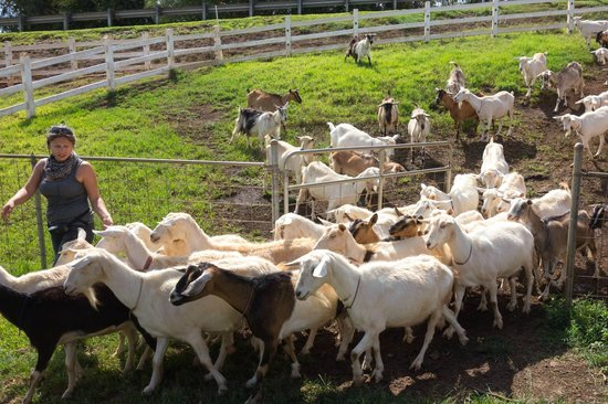Kula, Hawa : Intern hearding goats 