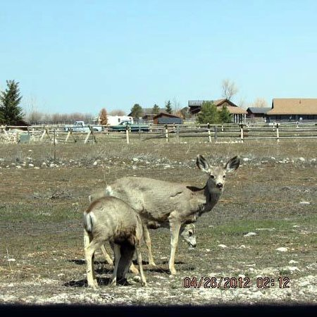Island Park, ID: Deer
