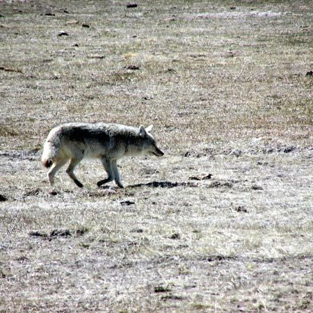 Island Park, ID: Coyote