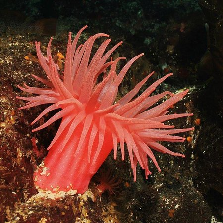 Burnaby, Kanada: Crimson Anemone at Whytecliff Park, Horseshoe Bay, BC