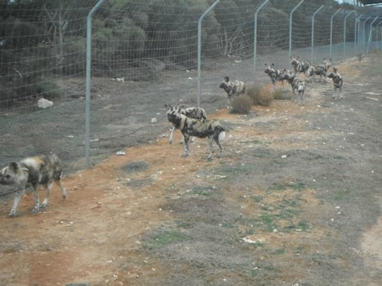 Australia Selatan, Australia: Painted Dogs