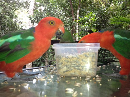 Atherton, Australien: Breakfast with the King Parrots