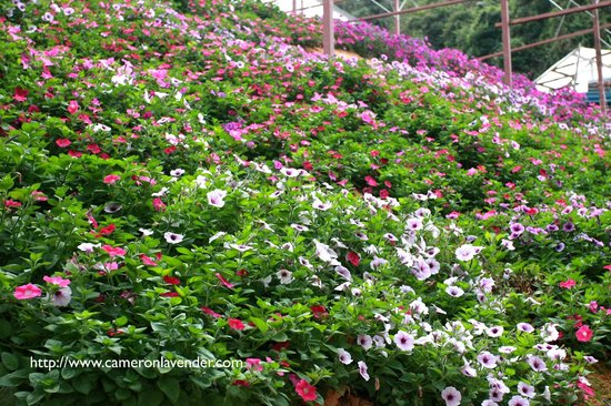 Pahang, Malasia: Flowers blooming on the slope..