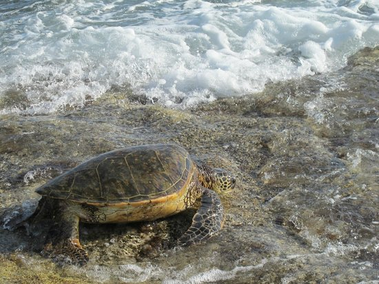 JW Marriott Ihilani Resort and Spa: One of the beaches you see turtles