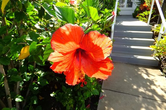 Fairmont Kea Lani Maui: Magnificent Hibiscus in every color on property