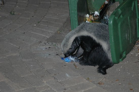 Tamboti Camp: Honey badger checking the contents of our dustbin