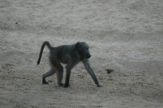 Tamboti Camp: baboon in the riverbed- view from the tent