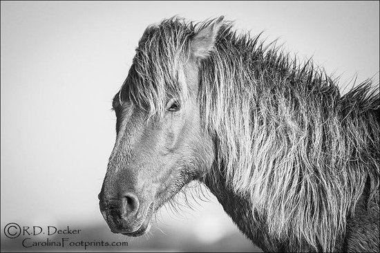 Beaufort, NC: Black &amp; White Portrait of a North Carolina Wild Horse