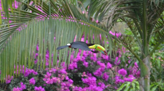 Atenas, Costa Rica: Toucan with palm berry at breakfast patio