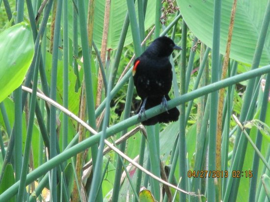 Boynton Beach, FL: red winged black bird