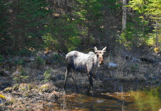 Whitney, Canada: Moose along Highway 60 in Algonquin