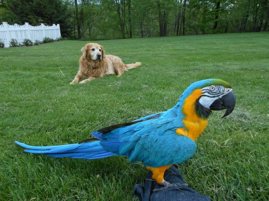 Castleton, VT: Maya the macaw out for a stroll with Samson watching on!