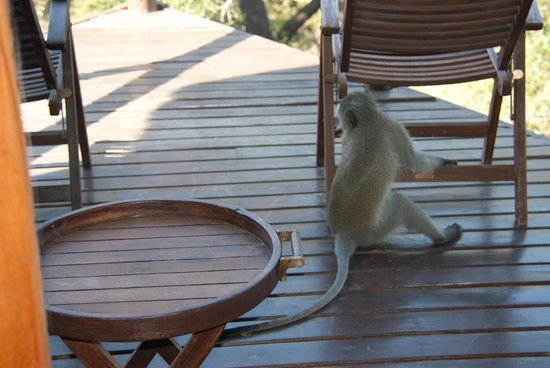 Shishangeni Lodge: Monkey on the porch