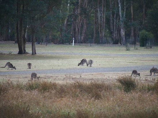 Halls Gap Motel: Kangaroos in the open ground