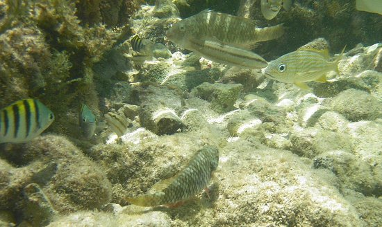Morritt's Tortuga Club & Resort: snorkeling at Morritts