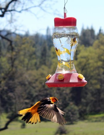 Groveland, Kalifornien: Bird Watching