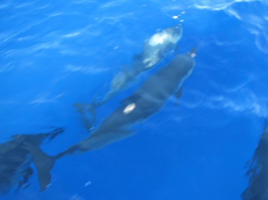 Maalaea, Hawái: dolphins swimming next to the boat