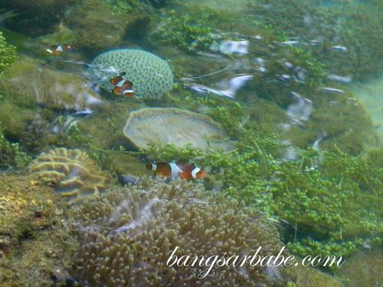 The Andaman, A Luxury Collection Resort: Clown fish in the pond