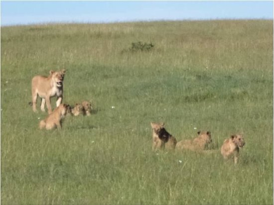 Mara Intrepids Club: Six lion cubs and their baby sitter