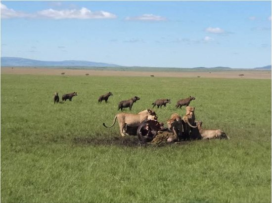 Mara Intrepids Club: Hyenas waiting for the lions to finish