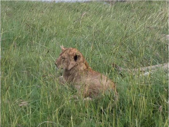 Mara Intrepids Club: Little lioness