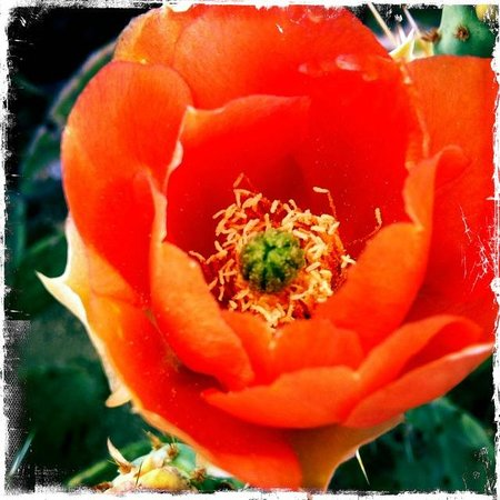 The Inns at El Rancho Merlita: Blooming prickly pear on the grounds