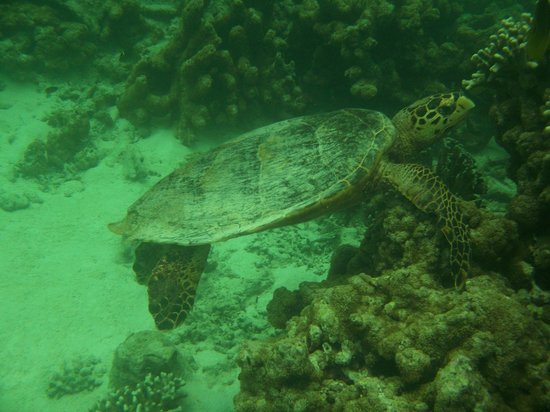 Baros Maldives: Swimming with the Turtle!