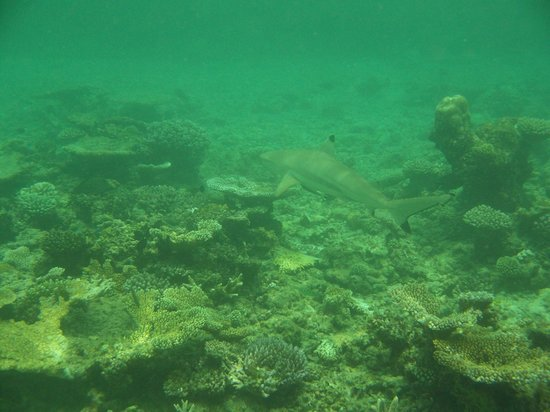 Baros Maldives: Shark swims past as we snorkel