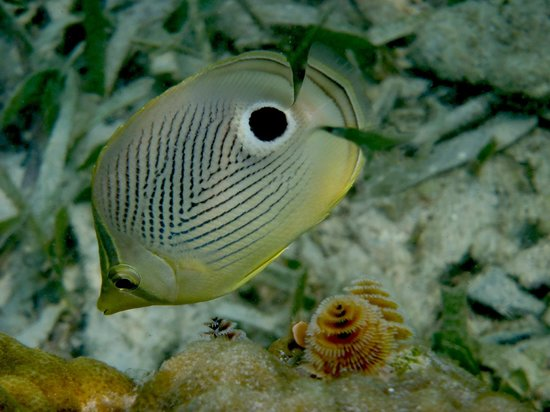 Paradise Oceanic Hotel: Four Eyed Angelfish, West Bay, Roatan