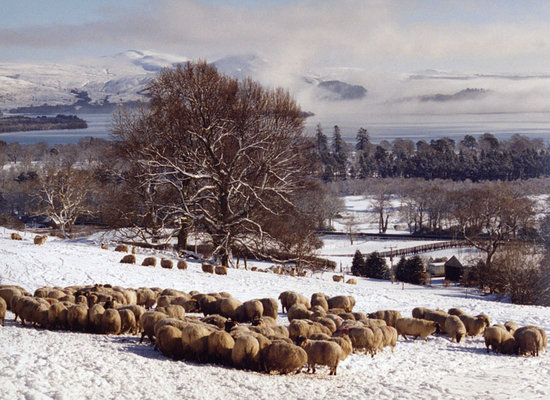 Luss, UK: Feeding sheep in the snow
