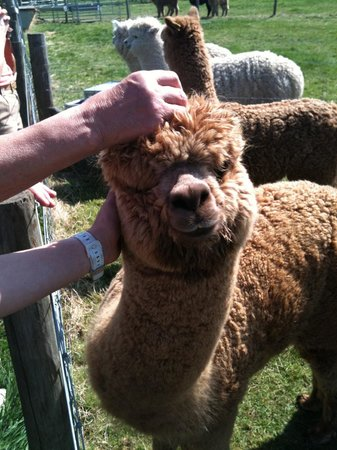 Dunchurch, UK: Friendly Alpaca - we loved it
