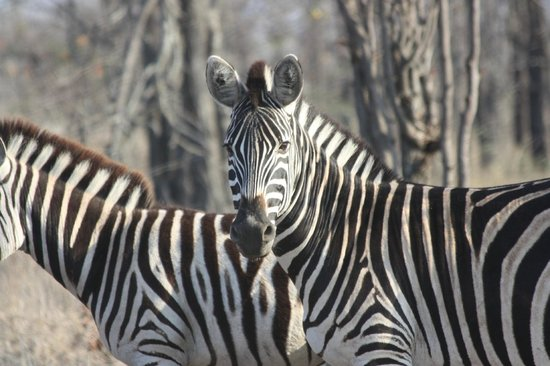 Timbavati Private Nature Reserve, Sdafrika: Zebra
