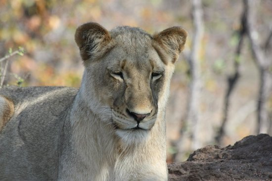 Timbavati Private Nature Reserve, South Africa: Snoozing Lion