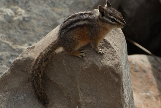 Kananaskis Country, Καναδάς: Chipmunk at Barrier lake, near the start of K Country