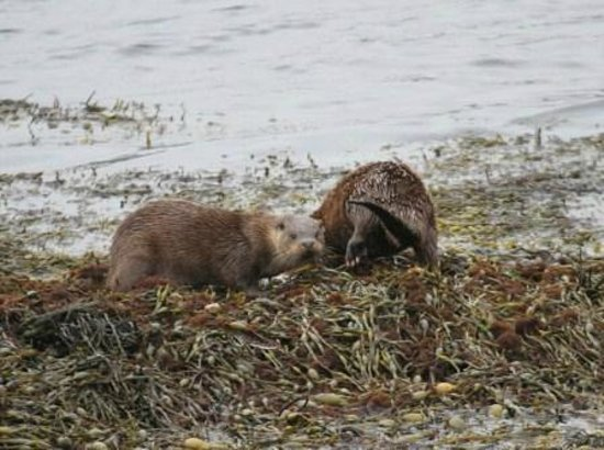 Pennyghael, UK: Otters on beach in front of Hotel