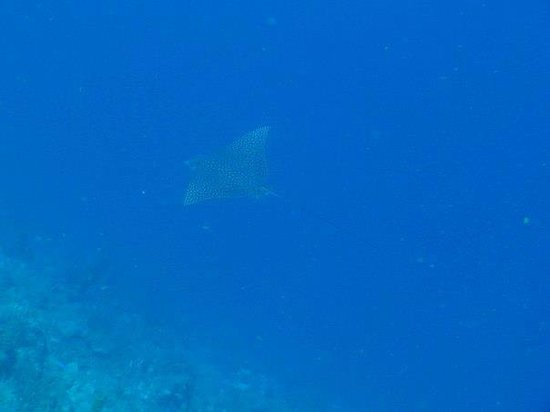 Hamanasi Adventure and Dive Resort : Eagle ray 