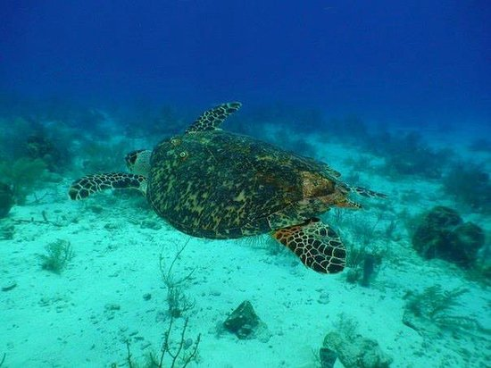 Hamanasi Adventure and Dive Resort : turtle 