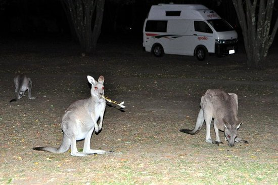 Halls Gap, Australië: Kangaroo's on the campsite