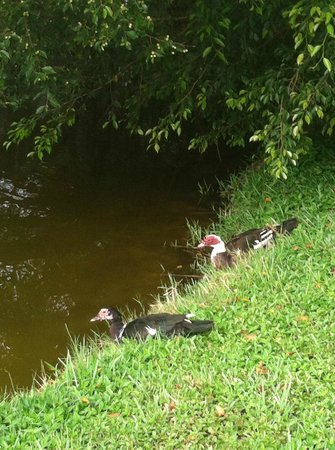 Marco Island Lakeside Inn: Ducks at lake