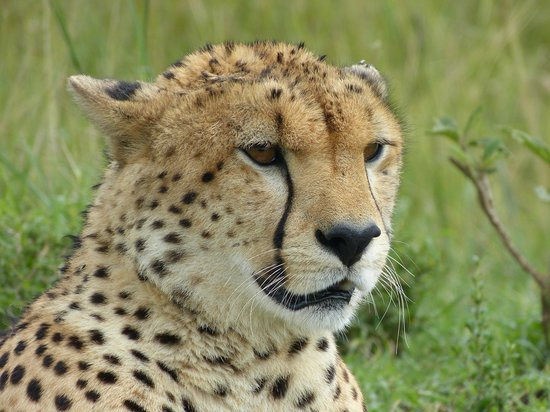 Cheetah Tented Camp: Guepardo
