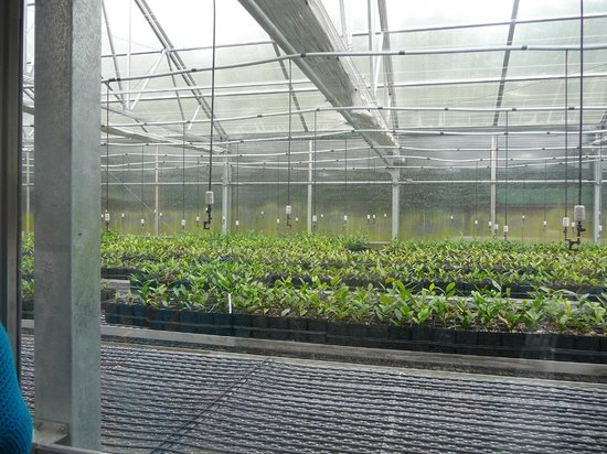 Wadmalaw Island, SC: Tea Plantation greenhouse for new tea plants