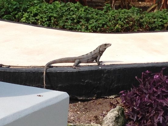 Grand Sunset Princess All Suites Resort &amp; Spa: Random iguana