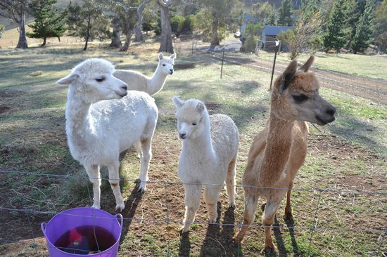 New Norfolk, Australia: Hungry Alpacas