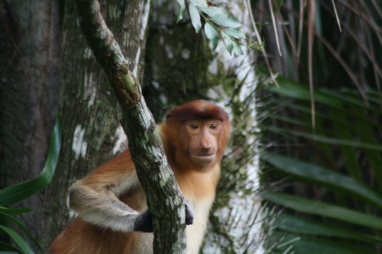 Bako National Park Hostel: The curious proboscis monkey
