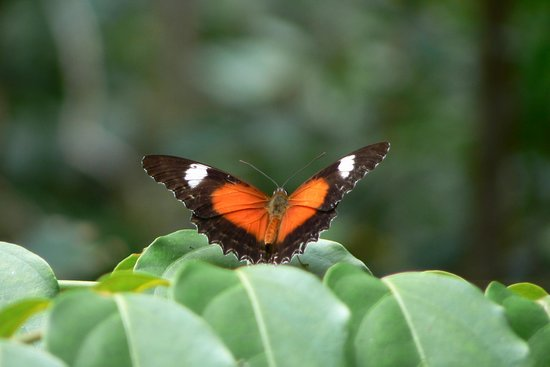 Daintree, Australien: Beautiful butterflies