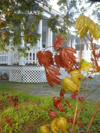 Saint Andrews, Kanada: Maple tree sprout at edge of parking lot looking toward Inn's side porch